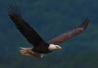 Zeearend, bald eagle
