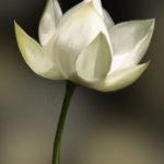 Witte lotus blooem